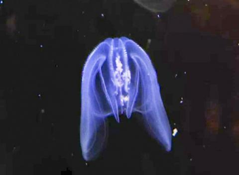수족관에서 유영하는 빗해파리 모습. https://en.wikipedia.org/wiki/File:Comb_Jelly,_Shedd_Aquarium,_Chicago.webmhd.webm  Credit: Wikipedia / Shedd Aquarium, Chicago