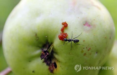 개미는 자기 몸무게의 5천배를 들 수 있다고 한다. 그 이유는 바로 개미의 목관절이 갖고 있는 역학구조 때문이다. 최근 이 역학구조에 대한 비밀이 풀렸다.  ⓒ 연합뉴스