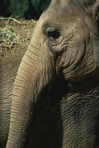 코끼리의 가장 큰 특징은 바로 긴 '코'이다. 다른 포유류에 비해 유난히 코가 긴 이유는 무엇일까. 최근 연구를 통해 그 이유가 밝혀졌다. 바로 '냄새'를 잘 맡기 위해 진화했다는 것이다.
