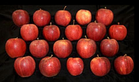 미국 농업연구소(ARS)에서 최근 개발해 발표한 신품종 사과. DNA 마커 육종 방식을 통해 영양성분 함유량 생산량 등을 높였다 ⓒ http://www.ars.usda.gov/