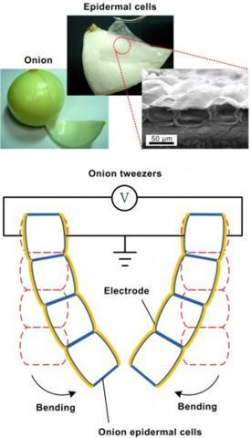 양파 껍질 세포로 만든 인조근육의 개념도. 인조근육을 복합해 만든 핀셋에 전류를 흐르게 하면 핀셋의 집게가 안으로 휘게 된다(그림 아래 부분). ⓒ Shih Lab, National Taiwan University