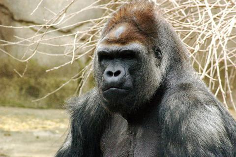 수컷 고릴라는 자신의 가족을 위협하는 다른 수컷을 물리치기 위해 페로몬을 발산한다.  ⓒ Kabir Bakie at the Cincinnati Zoo (Wikipedia)