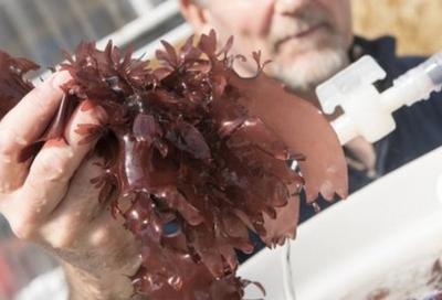 해조류에게 새로운 맛과 식감을 제공하는 연구를 활발하게 진행하고 있다 ⓒ Oregon.edu