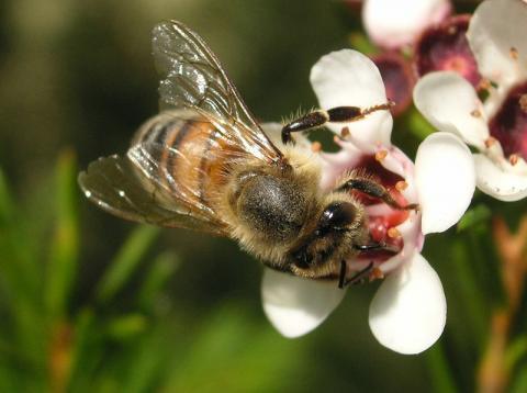 꿀벌은 꽃가루 매개 곤충으로 열매가 맺힐 수 있게 도와주는 역할을 하는 중요한 곤충이다. 꿀벌이 사라지게 되면 인류에게 큰 영향을 미치게 된다. ⓒ TTaylor (Wikipedia)