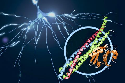 뇌 신호를 보내기 위해 작동하는 단백질 복합체 그림. 동그라미 안에는 스네어(SNARE)와 시냅토태그민-1 단백질이 결합된 구조를 보여준다. 이 결합체는 '접합 소포 융해'로 불리는 과정을 통해 뇌의 신경세포로부터 칼슘 촉발에 의한 신경전달물질을 방출하는 역할을 수행한다. 그림에서 스네어 단백질 구조는 파랑, 빨강, 녹색으로 표시돼 있고, 시냅토태그민-1은 오렌지색으로 표시됐다. 배경은 뉴런을 통해 전자신호가 방출되는 모습을 형상화했다.   ⓒ SLAC National Accelerator Laboratory