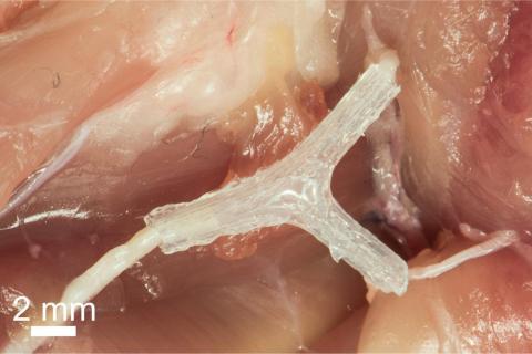 손상된 쥐의 말초신경 세포가 다시 되살아나고 있는 모습. 미네소타 대 등 공동연구팀은 걷지 못하던 쥐 척추 속에 3D프린터로 만든 신경조직을 이식해 운동 기능을 회복시키는데 성공했다.    ⓒ University of Minnesota College of Science and Engineering