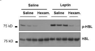 윗줄이 활성화된 지방분해효소(p-HSL)의 양을 보여준다. 렙틴을 투여한 경우(오른쪽 부분, Leptin-Saline. Saline-Saline 대비)  효소의 양이 증가했지만 신경 활동을 억제하는 약물을 처리한 경우(Leptine-Hexam. 활성화된 효소가 거의 없어졌다. ⓒ Zeng et al.