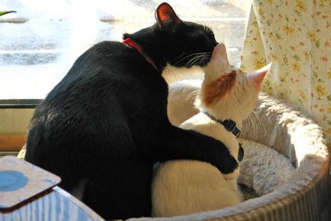 고양이라고 해서 모두 공격적인 것은 아니다. 집에서 기르는 고양이는 야생의 고양이보다 더 공격적인 성향을 갖고 있다. 사람과 함께 살기 때문이다.  ⓒ Lazy Lightning / Wikipedia