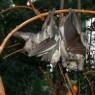 에볼라와 박쥐의 2500만년 '전쟁'