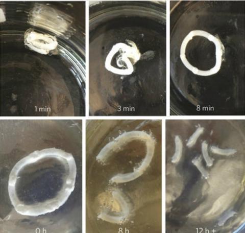 사진 위는 캡슐이 유사 위장액에 노출된 후 폴리머 링이 캡술에서 풀려나는 모습. 아래는 폴리머 링이 유사 장액에 노출됐을 때 장을 통과해 조각으로 분해되는 모습 ⓒ Macmillan Publishers. Zhang, et al. Nature Materials. Oct 2015