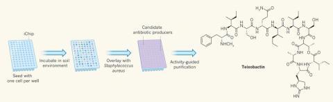 새로운 항생제를 찾은 과정. 아이칩의 단위 하나에 토양미생물 세포를 하나씩 넣고(맨 왼쪽) 자연환경에 가깝게 배양한다(왼쪽에서 두 번째). 황색포도상구균을 깐 뒤 생장이 억제된 곳을 찾는다(왼쪽에서 세 번째). 이렇게 찾은 곳에 있는 미생물에서 새로운 항생제 테익소박틴을 분리했다(맨 오른쪽). ⓒ '네이처'