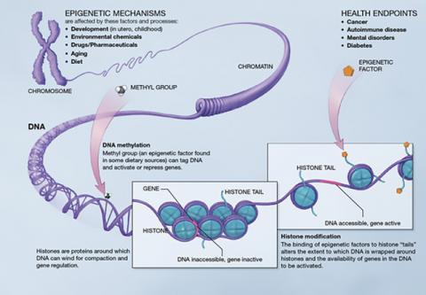 이번 연구는 후성유전학에 기반해 비만에 따른 후성유전적 변화가 기억 관련 유전자에 문제를 일으켜 기억력을 손상시킨다는 실증 연구여서 관심을 모은다. 그림은 후성유전적 유전자 발현 기제.  ⓒ Wikipedia / NIH