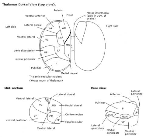 시상망상핵의 사진. 얼마전 연구를 통해 시상망상핵이 멀티태스킹을 가능하게 하는 핵심이라는 사실이 밝혀졌다.  ⓒ RobinH / English Wikibooks