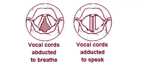 성대는 숨을 쉴때는 주름이 펴졌다가 말을 할때는 주름이 닫히는 구조이다. ⓒ Wikipedia
