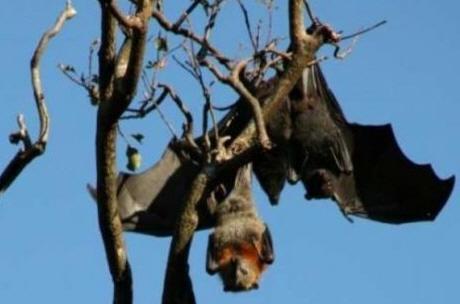 질병 전파 박쥐의 놀라운 면역력