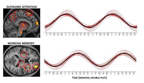 기분뿐 아니라 인지능력도 계절을 탄다는 사실이 밝혀졌다. 위는 지속적인 주의력이 필요한 인지력 과제를 수행할 때 활성화되는 뇌의 부위(왼쪽 칼라 부분)와 계절에 따른 상대적인 활성도(오른쪽. 알파펫은 각 달의 영문 이니셜이다)를 보여준다. 아래는 작동기억이 필요한 과제를 수행할 때 활성화되는 부위와 계절에 따른 상대적 활성도를 보여준다. 지속적 주의력은 겨울에 최저인 반면 작동기억은 봄철에 최저다. ⓒ PNAS