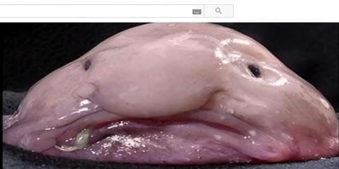 2013년 약 10만 명의 네티즌이 참가한 투표에서 '가장 못 생긴 동물' 1위에 뽑힌 블로브피시. ⓒ 유투브 캡처 화면