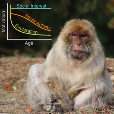 원숭이도 사람과 마찬가지로 나이가 듦에 따라 호기심과 사교적 활동이 줄어든다. 그럼에도 사람처럼 사회에 대한 관심은 유지된다. 즉 이런 경향은 영장류의 진화에서 보존된 행동패턴이라는 말이다. ⓒ '커런트 바이올로지'