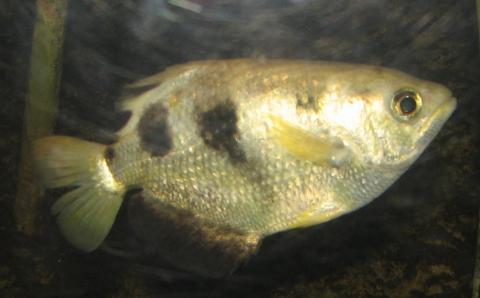 열대성 어류인 물총고기도 사람의 얼굴을 구분할 수 있다는 연구결과가 발표됐다. ⓒ 위키미디어 public domain