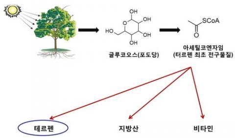 나무에서의 테르펜 생성 과정 ⓒ 국립산림과학원