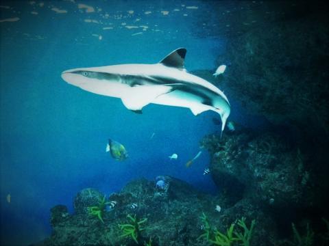 검은지느러미흉상어(blacktip reef shark). ⓒ 김웅서