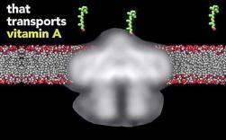 비타민A가 세포 바깥(첫번째 사진)에서 STRA6 단백질을 거쳐 세포 안으로 들어온 모습(두번째 사진). 비타민A는 바로 세포 안으로 들어오지 않고 STRA6 단백질의 꼭대기를 통해 옆 창으로 나와 세포막 안에 머무른다(세번째 사진).  ⓒ Columbia Medicine
