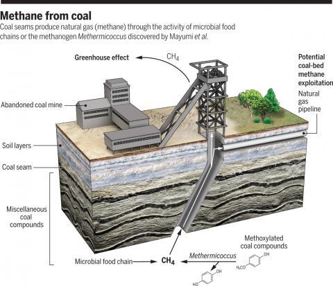 탄층에 존재하는 메탄의 40%는 미생물이 만드는 것으로 알려져 있다. 그 결과 채굴 중이나 버려진 탄광에서 대기로 유출된 메탄이 온실효과(greenhouse effect)를 낸다. 최근 연구에 따르면 석탄에 많이 존재하는 메톡시화합물(methoxylated coal compounds)을 대사하는 메서미코쿠스(Methermicoccus)가 메탄 생성에 주된 역할을 하는 것으로 보인다. 이들 메탄생성미생물을 이용해 탄층의 메탄 밀도를 높인다면 천연가스정(natural gas pipeline)으로 개발될 수도 있을 것이다.