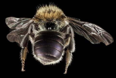 무척추동물의 하나인 메이슨 꿀벌 ⓒ pixabay