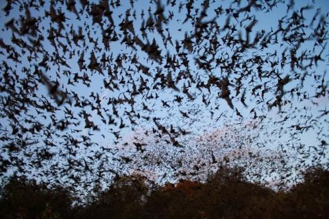 텍사스의 박쥐떼들 ⓒ amusingplanet