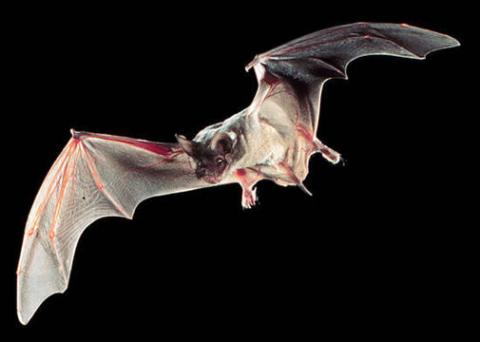 미국 텍사스의 포유동물로 지정된 큰귀박쥐 ⓒstatesymbolsusa