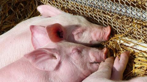 푹신한 우리에서 행복한 돼지. ⓒ pixabay
