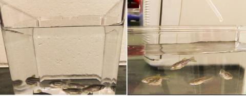 스트레스를 가한 후 활생균을 넣자 활력을 찾아 수면 가까이에서 노니는 물고기(왼쪽)와 스트레스를 받아 어항 바닥 주변에서 맴도는 물고기 ⓒ MU News Bureau