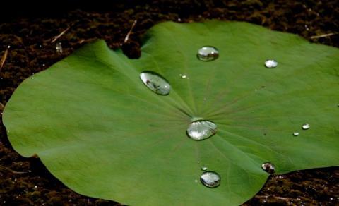 연잎의 방수효과를 모방한 인공소재들이 개발되고 있다 ⓒ wikipedia