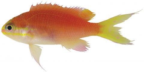 오바마 물고기 ⓒ NOAA