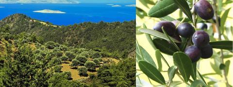 올리브 나무가 자라고 있는 그리스의 로드 아일랜드 섬. 지중해 연안 지역은 '햇볕과 바다와 올리브나무로 축복받은 땅'이란 부러움을 사고 있다. 오른쪽 사진은 올리브 열매. 사진 : Wikipedia / www.mytreelove.com