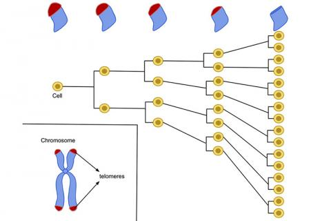 세포는 죽기 전에 평균 50 ~ 70번 분열한다. 세포가 분열함에 따라 염색체 끝에 있는 텔로미어는 더 작아진다. 출처 : Wikipedia / Azmistowski17