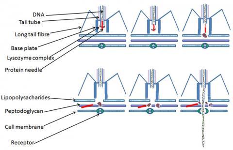 박테리오파지가 박테리아 세포에 DNA를 주입하는 과정을 그린 그림.  자료 :Wikipedia / Dr Graham Beards