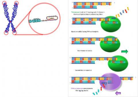 텔로미어의 말단이 텔로미어 본체에 삽입돼 T-루프를 형성하고 있는 모습(왼쪽). 오른쪽은 텔로머라아제가 텔로미어 DNA를 점차적으로 신장시키는 모습. 사진 : Wikimedia/ Fatma Uzbas