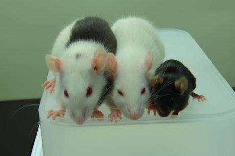 왼쪽은 생쥐의 췌장을 가진 쥐(rat), 가운데는 일반 쥐, 오른쪽은 생쥐(mouse)다.  ⓒ Tomoyuki Yamaguchi