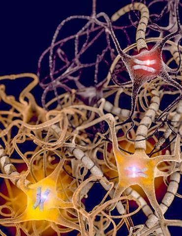 많은 뇌세포는 각 유전자의 모계와 부계 두 복제본을 표현하는데 비해 다른 일부는 하나의 복제본만을 발현시킨다. 이 단일 복제본에서 유전적 돌연변이가 발생하면 세포에 질병 등 문제가 생길 수 있다. 미국 유타대의 이번 발견은 유전학에서 이전에 언급되지 않은 새로운 견해로서, 세포 수준에서 그 결과를 찾아볼 수 있다.  그림 : Christopher Gregg