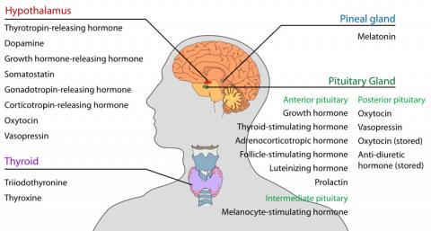 BPA는 몸에 들어와 내분비계를 교란시켜 많은 문제를 일으키는 것으로 보고돼 있다. 인체의 머리와 목에 있는 호르몬 내분비샘  사진 : Wikipedia/ LadyofHats