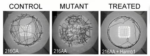 균형 복원 : 개방된 필드 테스트에서 실험 쥐들이 이리저리 돌아다니는 동안 바닥 아래 트랙에 기록된 움직임 경로. 2분30초 동안 기록된 이 이미지들은 정상적인 대조군 쥐들이 주로 원형 필드의 주변에 머무르는 것을 보여주는 반면, 돌연변이 쥐들은 균형감이 없이 반복적으로 맴도는 행동을 보였다. 오른쪽 그림은 유전자 치료를 받은 돌연변이 쥐들이 거의 정상적인 패턴의 움직임을 보인 모습. Credit: Gwenaelle Géléoc and Alice Galvin