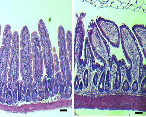 생후 2년 가까이 된 '늙은' 쥐의 장(오른쪽)과 생후 2~3개월 된 어린 쥐의 장을 비교했을 때 구조적 변화가 나타나는 현미경 사진. 늙은 쥐의 장은 점막의 소낭선(점막 분비샘)의 수가 더 적다.  Credit: Cincinnati Children's