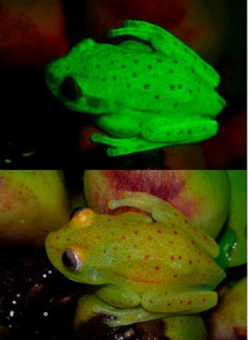 지금까지 알려진 양서류 7600여 종 가운데 형광을 내는 개구리가 처음 발견됐다. 아래는 백색광(대낮)을 비췄을 때 모습이고 위는 자외선/청색광을 비췄을 때 선명한 녹색 형광을 발하는 모습이다. ⓒ PNAS