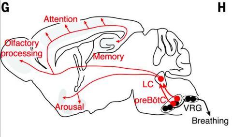 생쥐의 뇌 단면으로 왼쪽이 앞이다. 뇌간의 연수에 있는 전뵈트징어복합체(preBötC)에서 발생된 리듬의 신호가 VRG전운동뉴런을 통해 근육에 전달돼 호흡을 하게 되고 청반(LC)으로 전달돼 각성 등 뇌 전반의 활동에 영향을 미치게 된다. ⓒ 사이언스