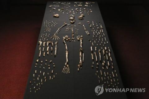남아프리카공화국 비트바테르스란트대학교 리 로저스 교수가 이끄는 팀이 2013년 남아공 동굴에서 발견한 '호모 날레디' 유골 화석. 사진은 로저스 교수 팀의 15명의 것으로 추정되는 1천700여 개의 뼈 조각과 치아 등을 정리 복원한 모습.