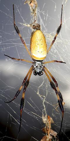 황금색 둥근 거미(Nephila clavipes)의 모습. Credit: Matjaž Kuntner, Research Centre of the Slovenian Academy of Sciences and Arts