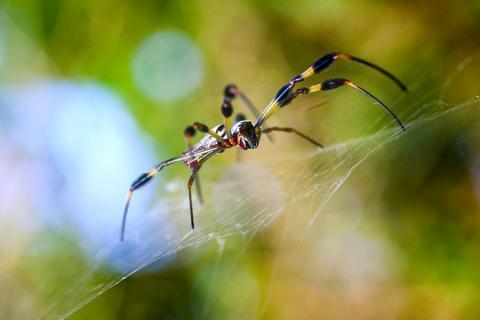 거미줄에 자리잡고 있는 황금색 둥근 거미. Credit: Wikipedia / L Church from USA
