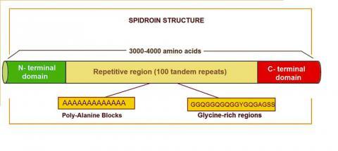 거미줄 단백질 생성을 지시하는 스피드로인 유전자 구조의 다이아그램. Credit: Wikipedia /BQUB13-Acolom