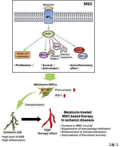 멜라토닌이 프리온 단백질을 조절해 중간엽 줄기세포의 기능성을 증진시키는 메커니즘 모식도. 멜라토닌을 처리한 중간엽 줄기세포는 프리온 단백질 발현이 증가해 세포증식이 늘어나고 산화성 스트레스에 대한 세포사멸을 방어하는 한편 면역조절 단백질 IDO-1의 조절을 통해 항염증 효과를 촉진시킨다. 활성산소(ROS)와 염증반응이 높은 허혈 부위에 이식된 줄기세포는 투여된 멜라토닌에 의해 생존율과 면역조절 기능이 증가해 질환 부위의 생착률을 높이고 나아가 혈관 수복을 통한 혈류랑 회복 등의 치료 효과를 높였다. 사진 제공 : 이상훈 교수 연구실 / 순천향대 의대